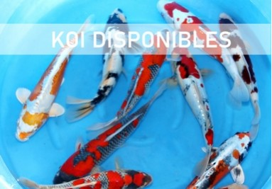 KOI disponibles en boutique